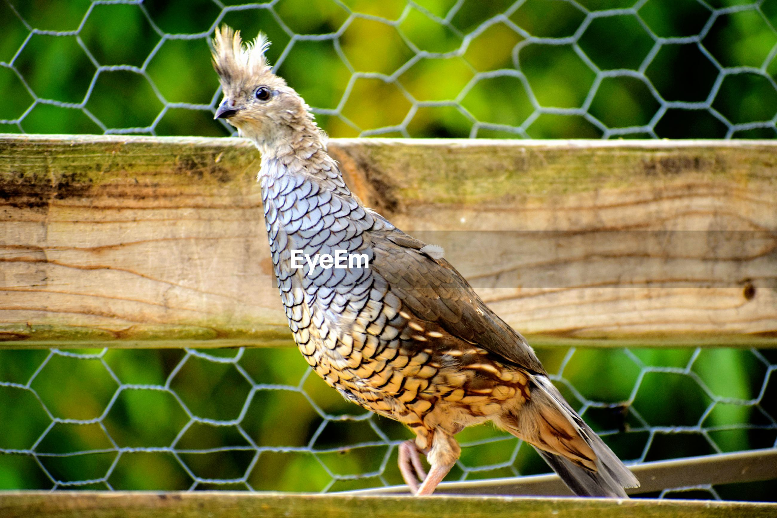 CLOSE-UP OF BIRD PERCHING ON WOOD AGAINST FENCE
