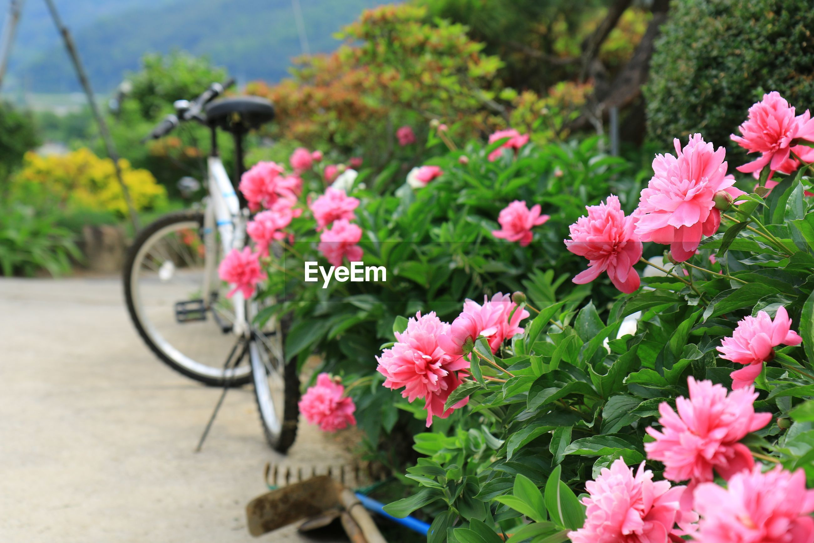 CLOSE-UP OF FRESH PINK FLOWERS BLOOMING BY PLANTS