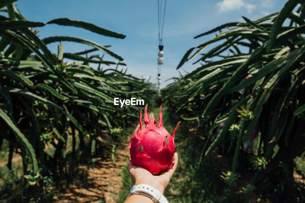 Cropped Hand Of Woman Holding Pitaya At Farm Against Sky During Sunny Day