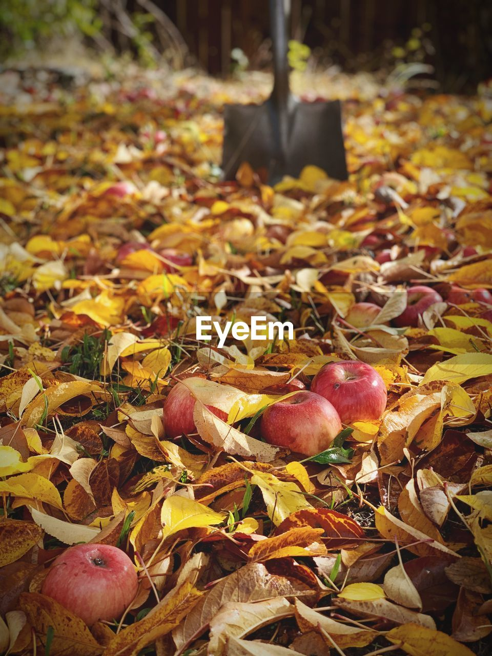 leaf, plant part, autumn, food and drink, food, leaves, healthy eating, change, land, nature, fruit, day, falling, no people, close-up, field, freshness, wellbeing, dry, outdoors, maple leaf, fall