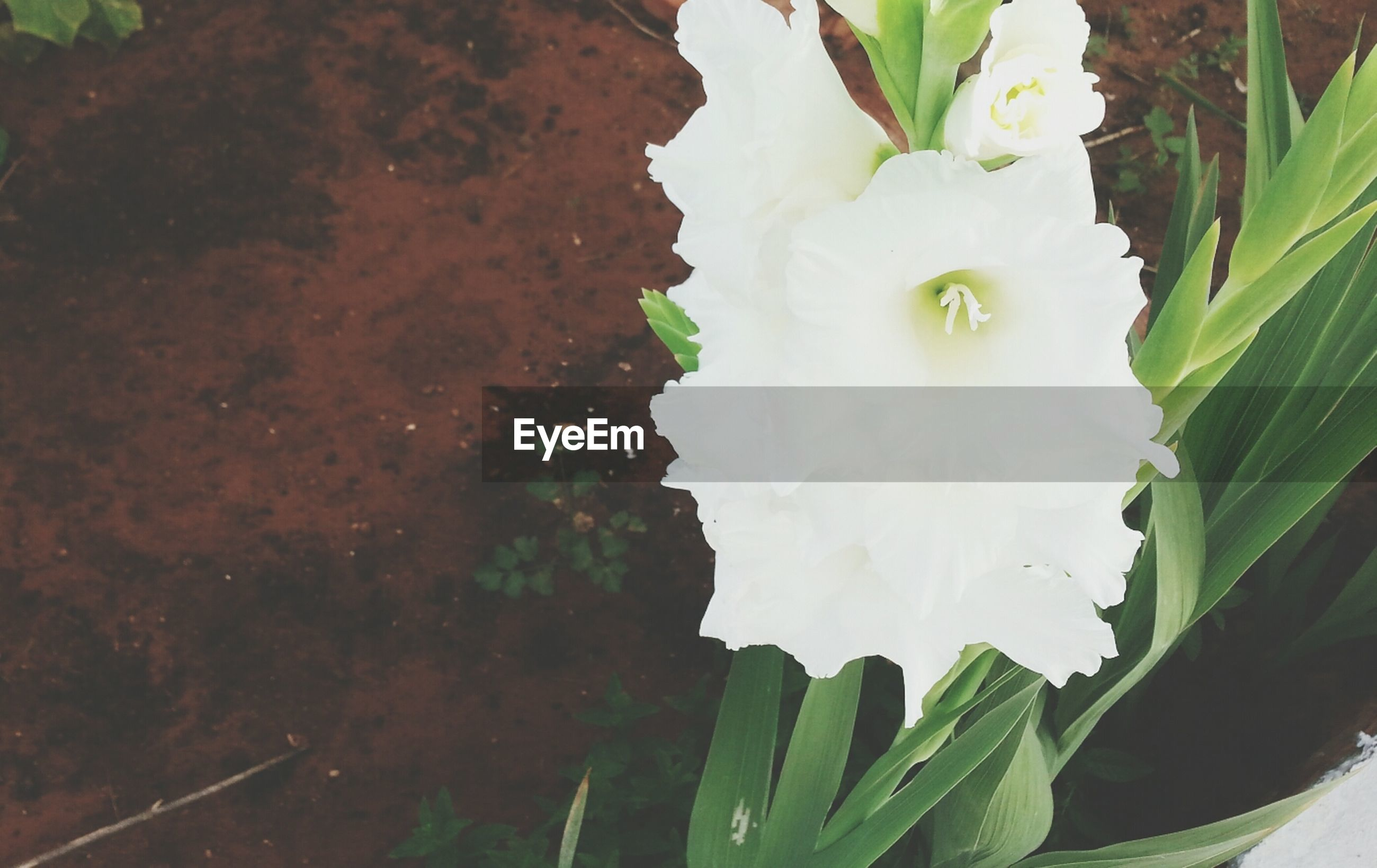 flower, freshness, growth, petal, fragility, flower head, beauty in nature, white color, plant, single flower, nature, leaf, close-up, blooming, in bloom, high angle view, green color, focus on foreground, day, outdoors