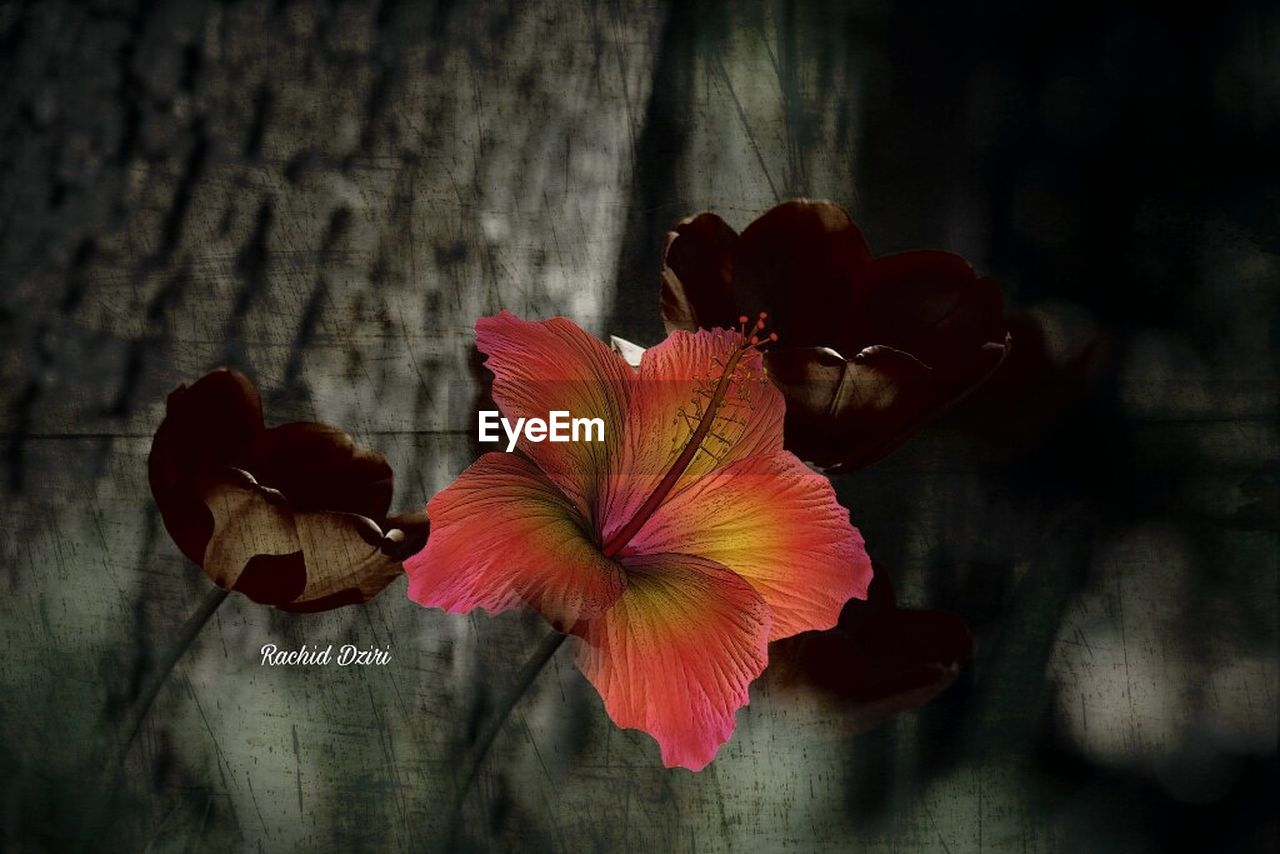 flower, petal, flower head, fragility, no people, close-up, beauty in nature, nature, growth, blooming, freshness, outdoors, day, hibiscus