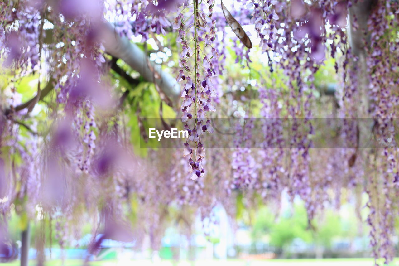 plant, flower, flowering plant, growth, beauty in nature, purple, vulnerability, fragility, freshness, lavender, selective focus, nature, vine, wisteria, lavender colored, close-up, day, no people, hanging, tree, springtime, outdoors