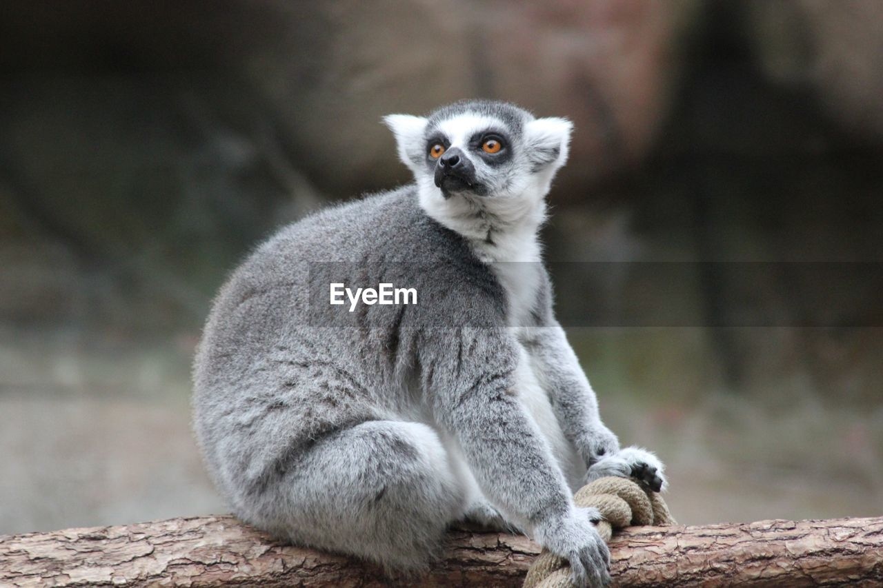 one animal, mammal, lemur, animals in the wild, focus on foreground, animal wildlife, vertebrate, no people, day, sitting, looking, nature, looking away, outdoors, primate, close-up, portrait