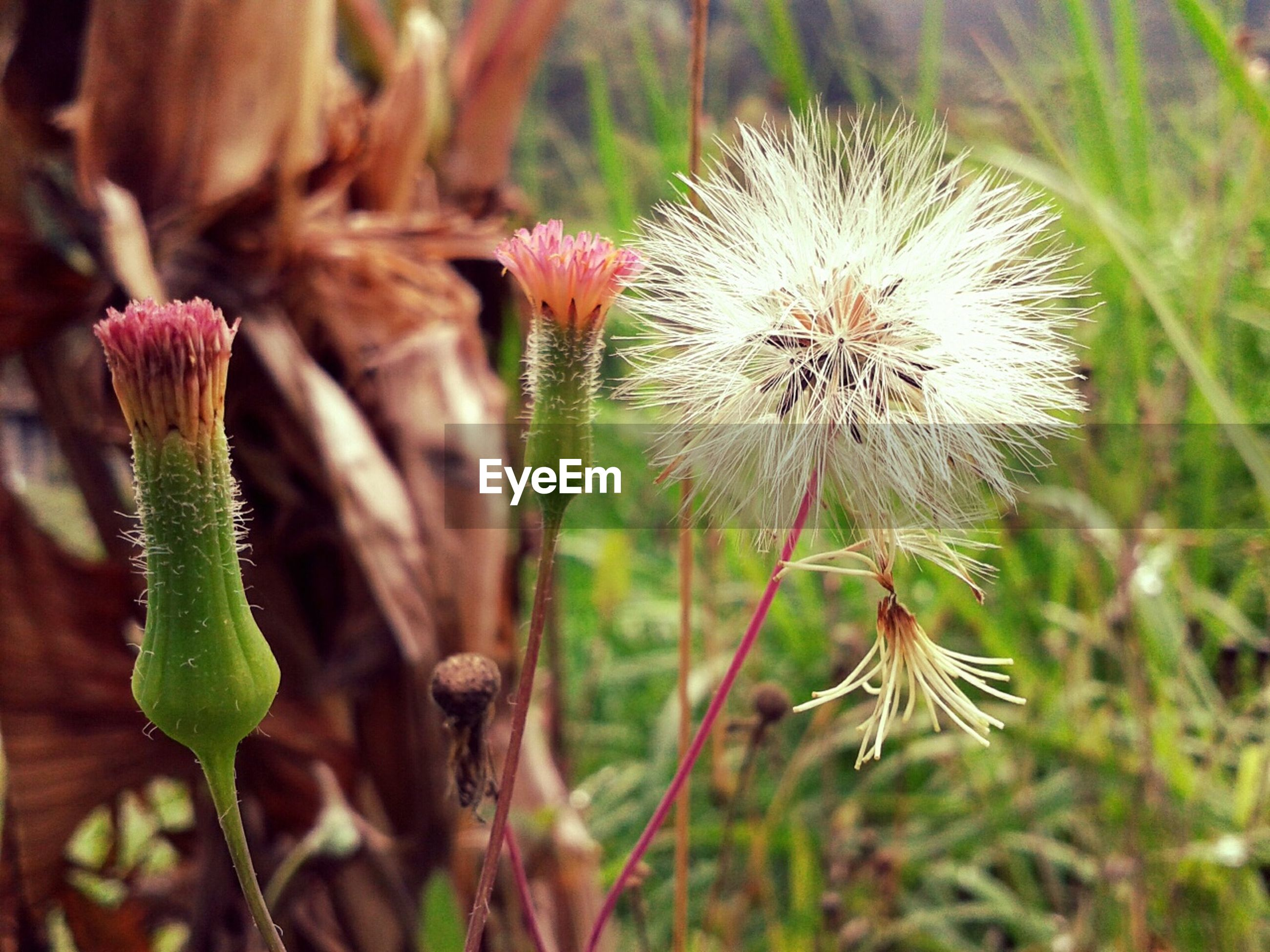 flower, growth, freshness, fragility, plant, close-up, focus on foreground, stem, nature, beauty in nature, flower head, bud, field, wildflower, uncultivated, selective focus, thistle, dandelion, botany, growing