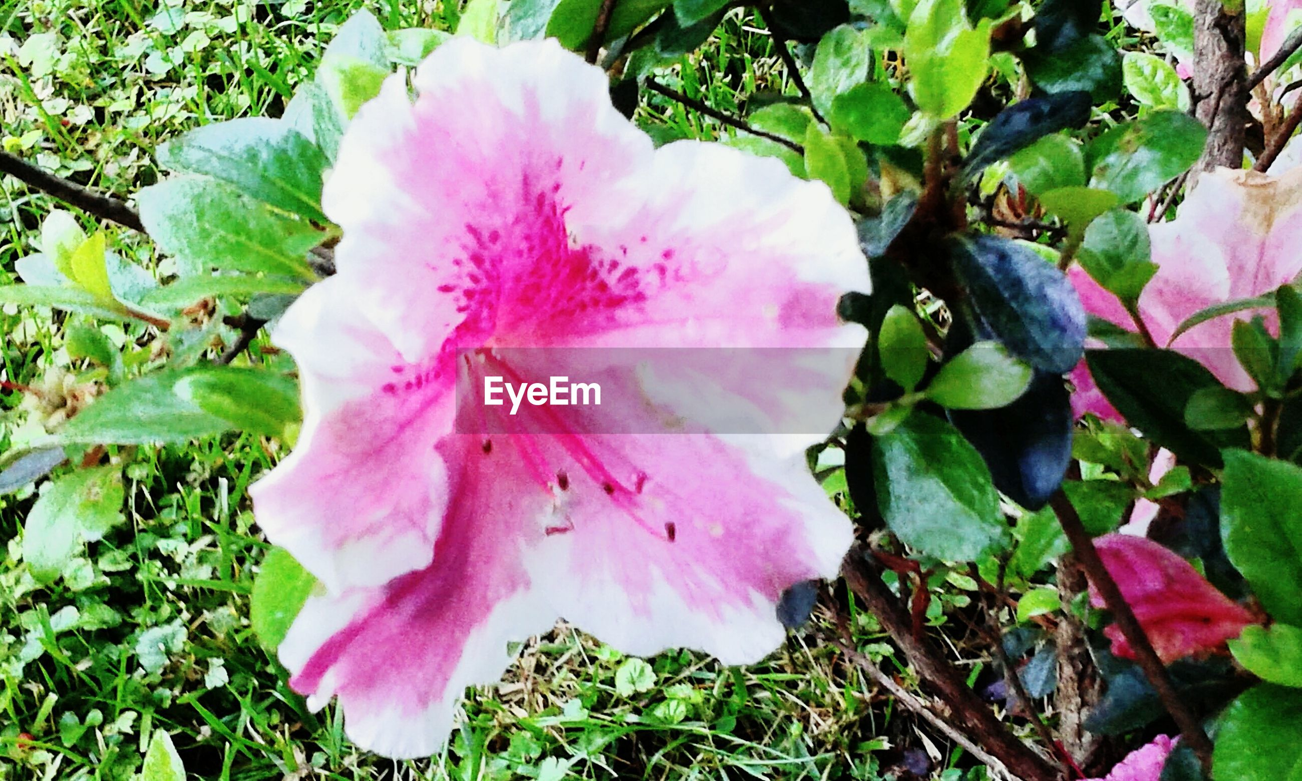 flower, pink color, petal, freshness, fragility, flower head, growth, beauty in nature, close-up, nature, blooming, pink, single flower, leaf, plant, stamen, in bloom, outdoors, green color, park - man made space