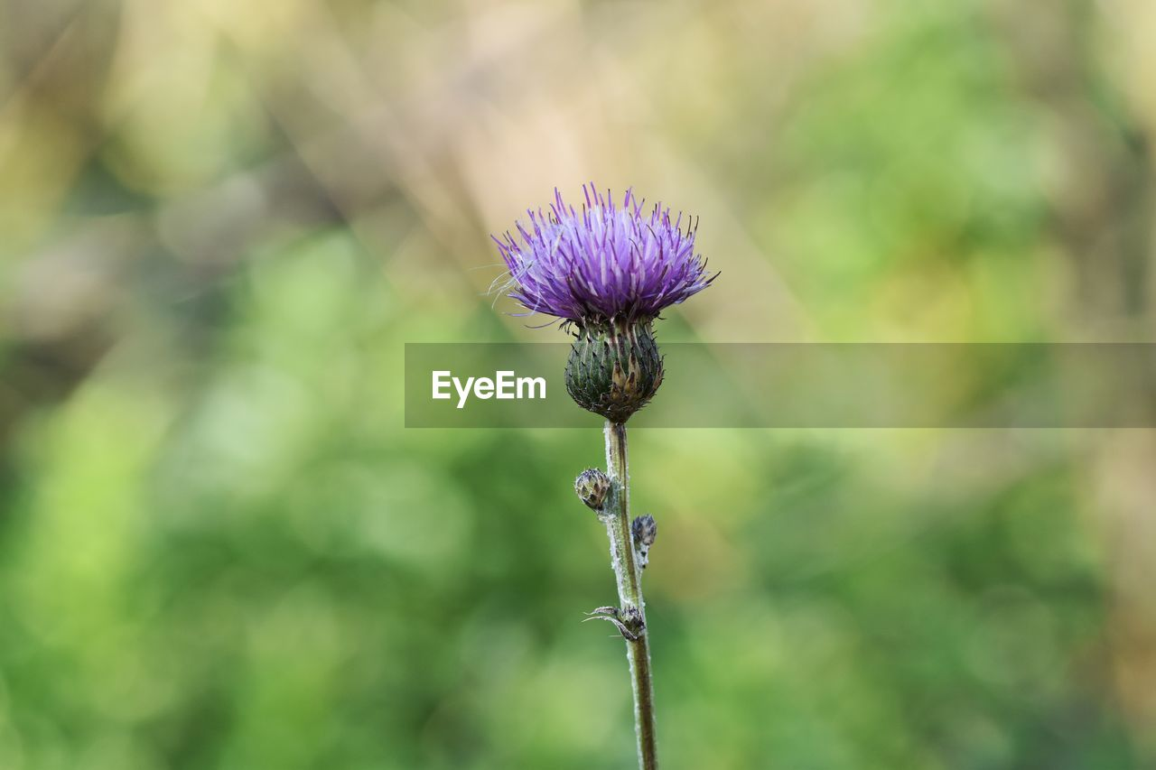flower, flowering plant, plant, beauty in nature, vulnerability, fragility, focus on foreground, growth, freshness, close-up, plant stem, nature, day, flower head, inflorescence, purple, no people, thistle, petal, outdoors, pollination