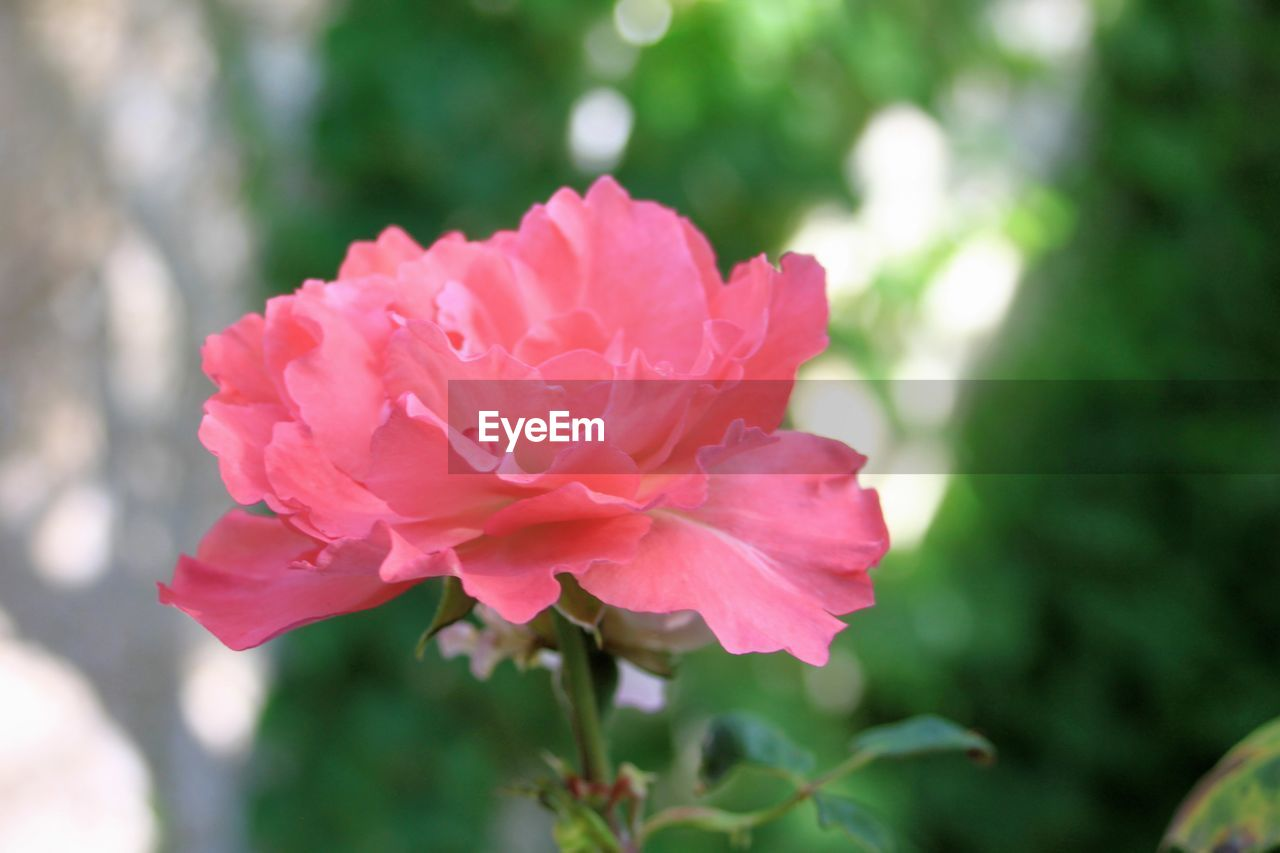 flowering plant, flower, beauty in nature, petal, plant, pink color, freshness, vulnerability, fragility, close-up, growth, inflorescence, flower head, focus on foreground, nature, day, rose, no people, outdoors, rose - flower