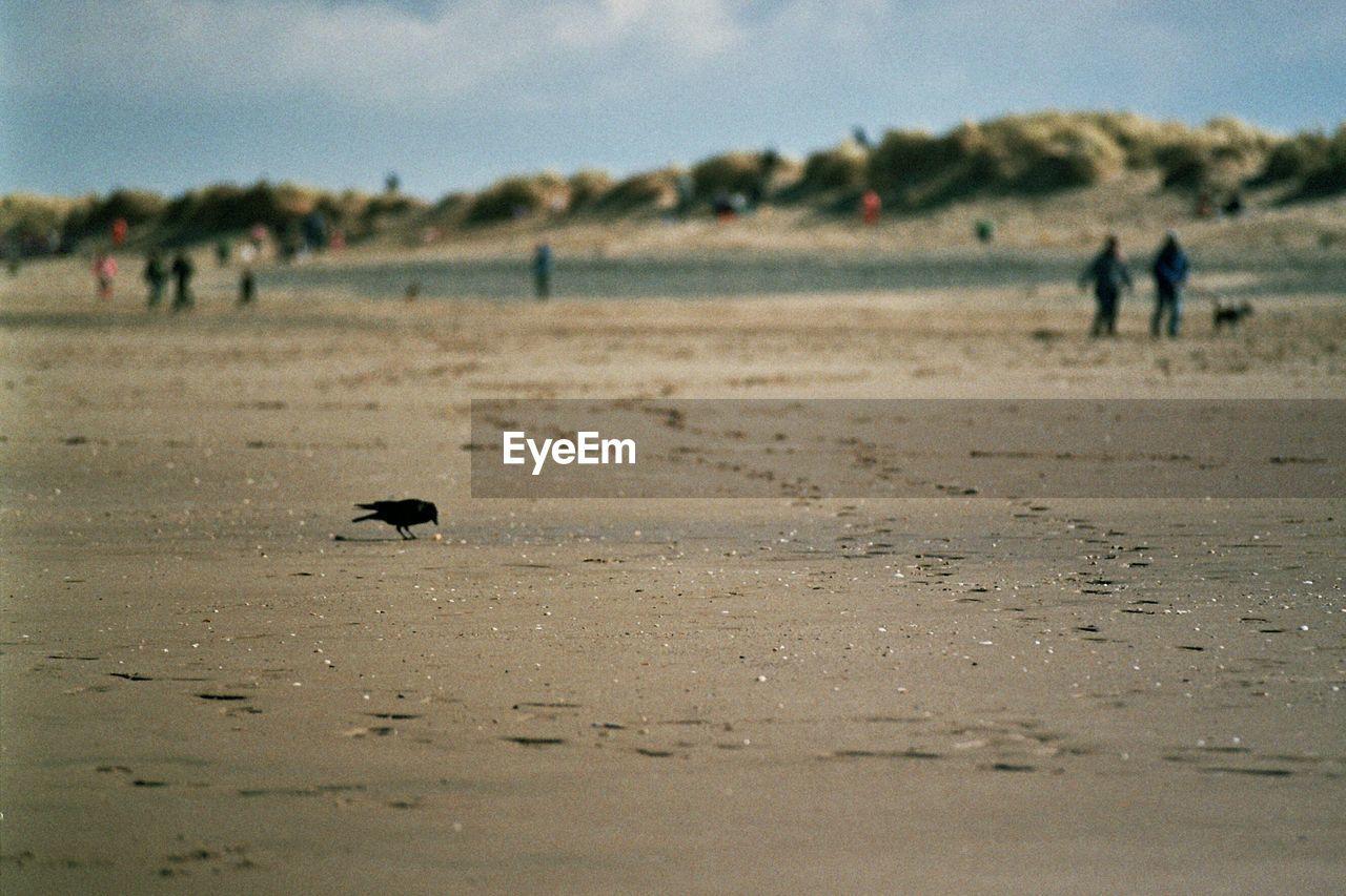 Crow feeding on beach