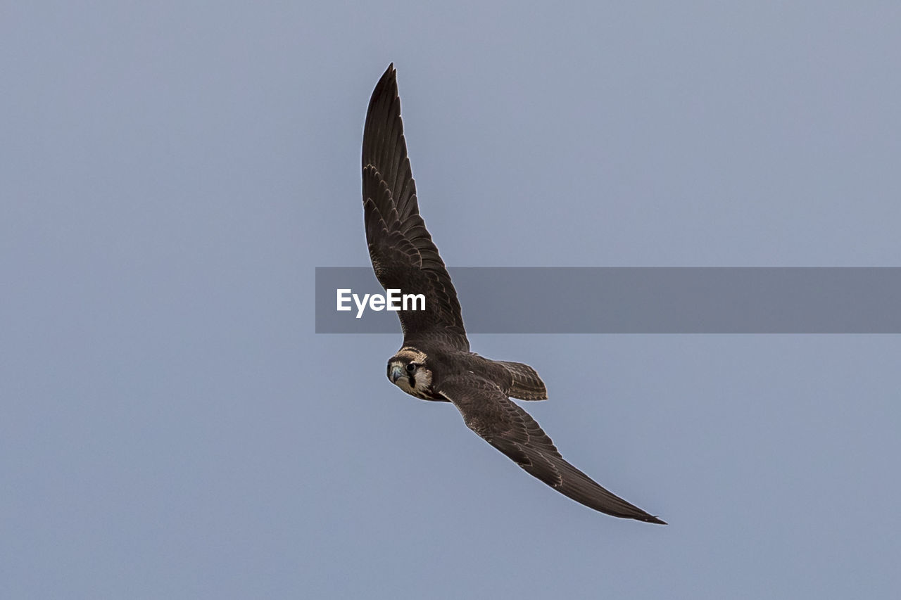 low angle view, animal, animal themes, clear sky, one animal, flying, sky, animal wildlife, no people, copy space, vertebrate, bird, spread wings, animals in the wild, nature, day, mid-air, bird of prey, full length, outdoors, eagle