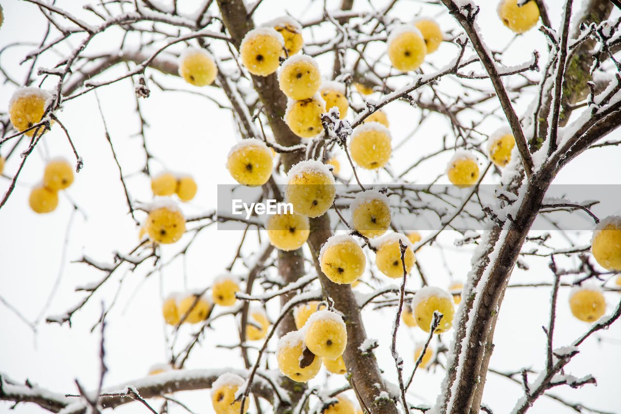 plant, branch, tree, focus on foreground, nature, no people, close-up, growth, day, winter, low angle view, sky, food, selective focus, cold temperature, snow, beauty in nature, outdoors, yellow