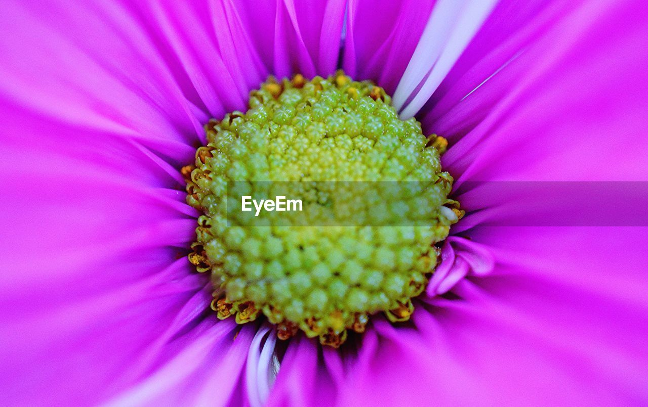flower, petal, fragility, flower head, pollen, growth, beauty in nature, freshness, nature, close-up, no people, pink color, plant, full frame, day, backgrounds, blooming, springtime, outdoors, eastern purple coneflower, passion flower
