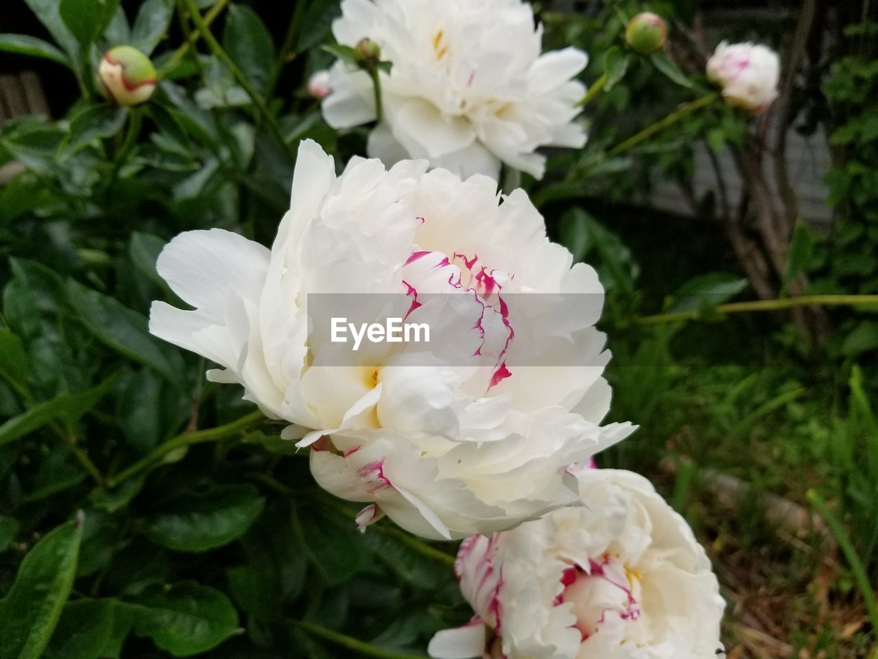 flowering plant, flower, plant, beauty in nature, freshness, vulnerability, fragility, petal, growth, close-up, white color, inflorescence, flower head, nature, day, focus on foreground, no people, rose, outdoors, rose - flower