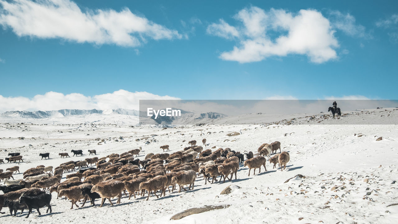 Sheep Walking On Snow Covered Field Against Sky