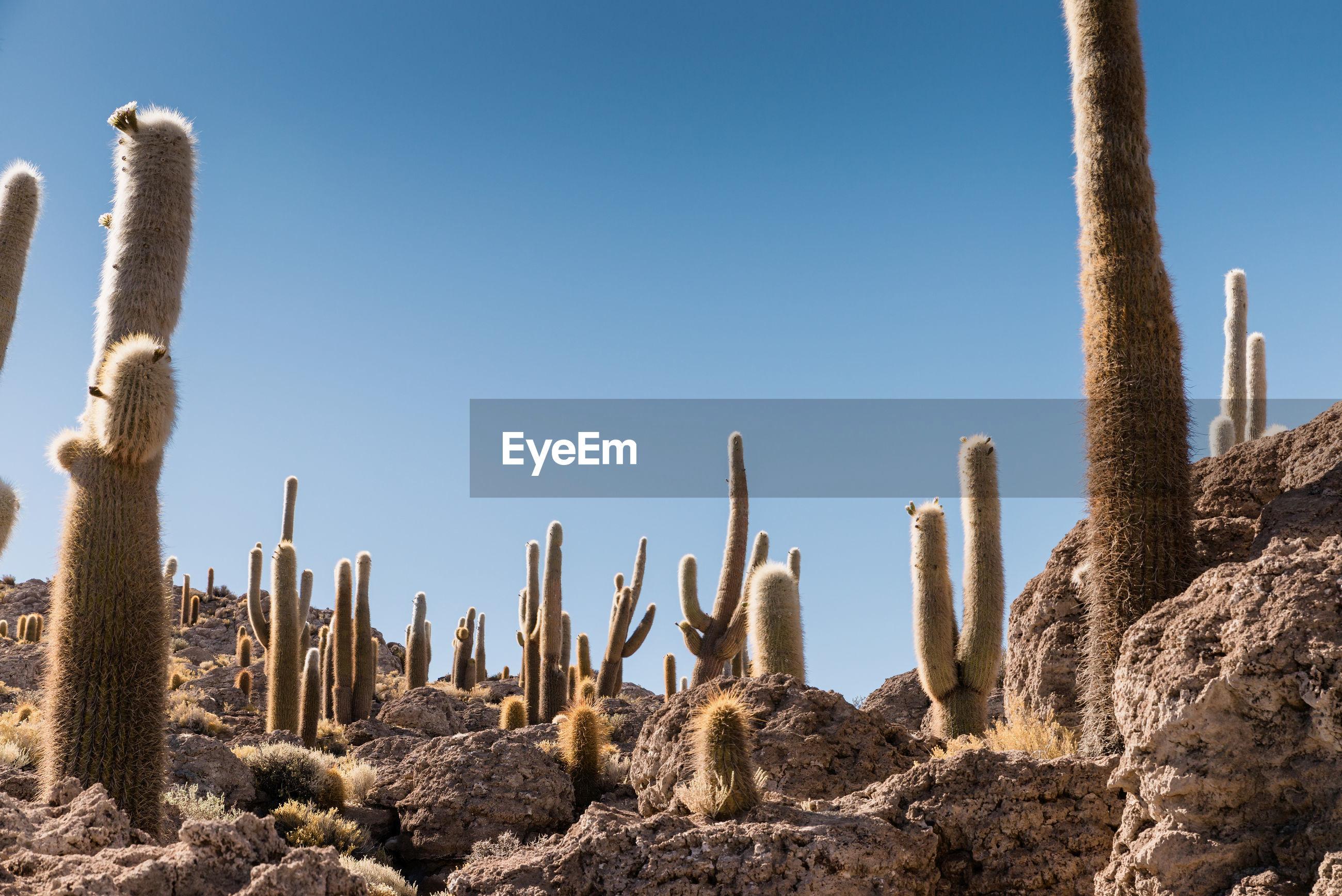 Cactus on landscape against clear blue sky at desert