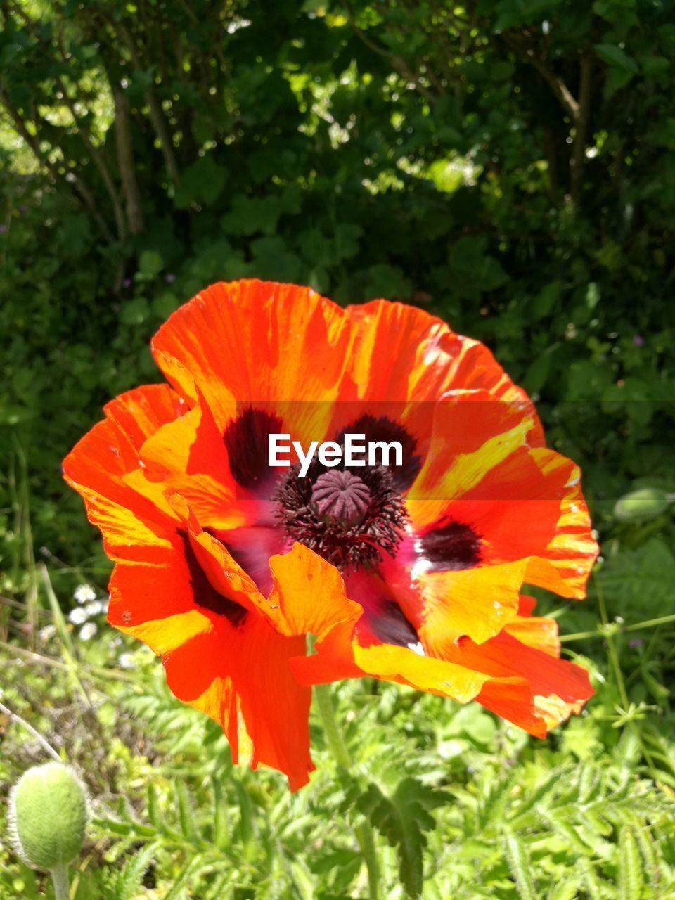 flower, growth, beauty in nature, nature, orange color, petal, freshness, plant, flower head, fragility, outdoors, day, no people, green color, blooming, close-up, poppy, animal themes