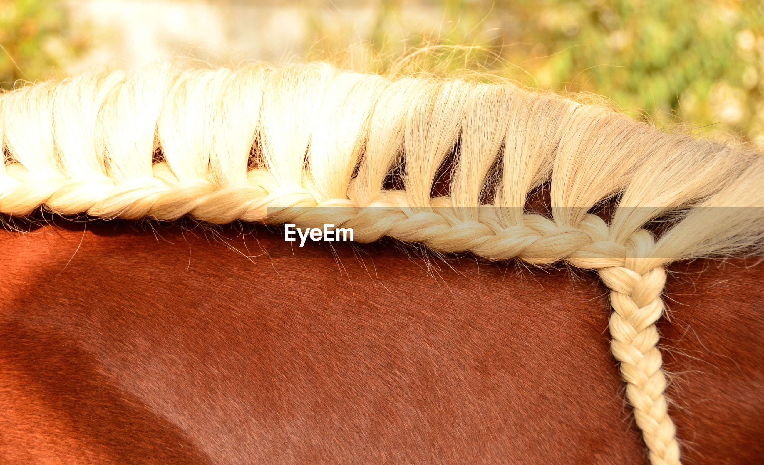 Cropped image of horse braided mane