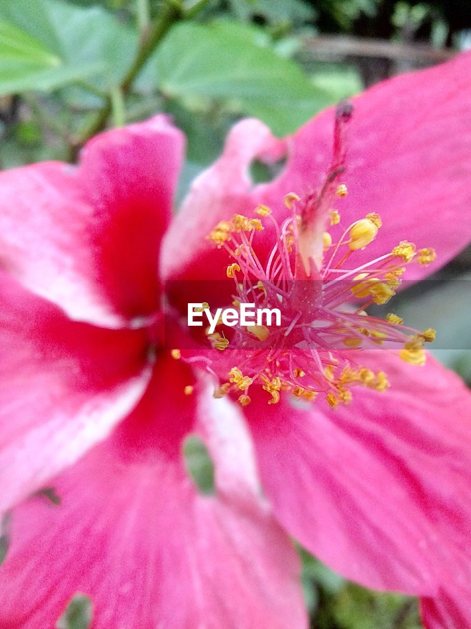 flower, petal, growth, nature, beauty in nature, fragility, pink color, flower head, plant, no people, close-up, freshness, stamen, outdoors, red, day, blooming, hibiscus