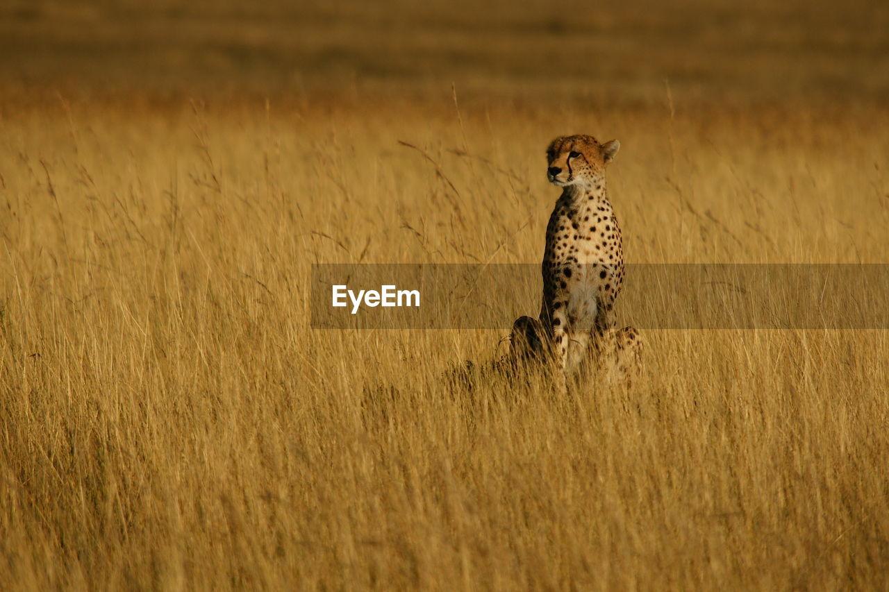 animal, animal themes, animals in the wild, animal wildlife, one animal, cheetah, mammal, vertebrate, no people, big cat, feline, cat, land, field, plant, nature, looking, carnivora, brown