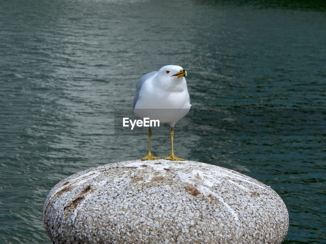 bird, animal themes, animal, vertebrate, one animal, water, animals in the wild, perching, animal wildlife, seagull, no people, solid, sea, day, rock, rock - object, focus on foreground, nature, outdoors, post, wooden post
