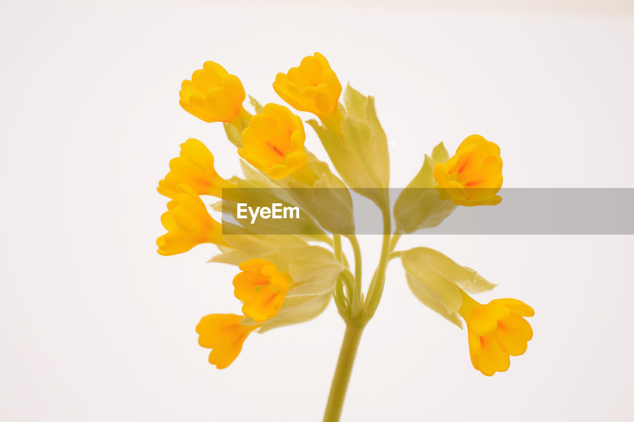 flower, petal, white background, studio shot, fragility, yellow, freshness, flower head, beauty in nature, nature, no people, close-up, outdoors, day