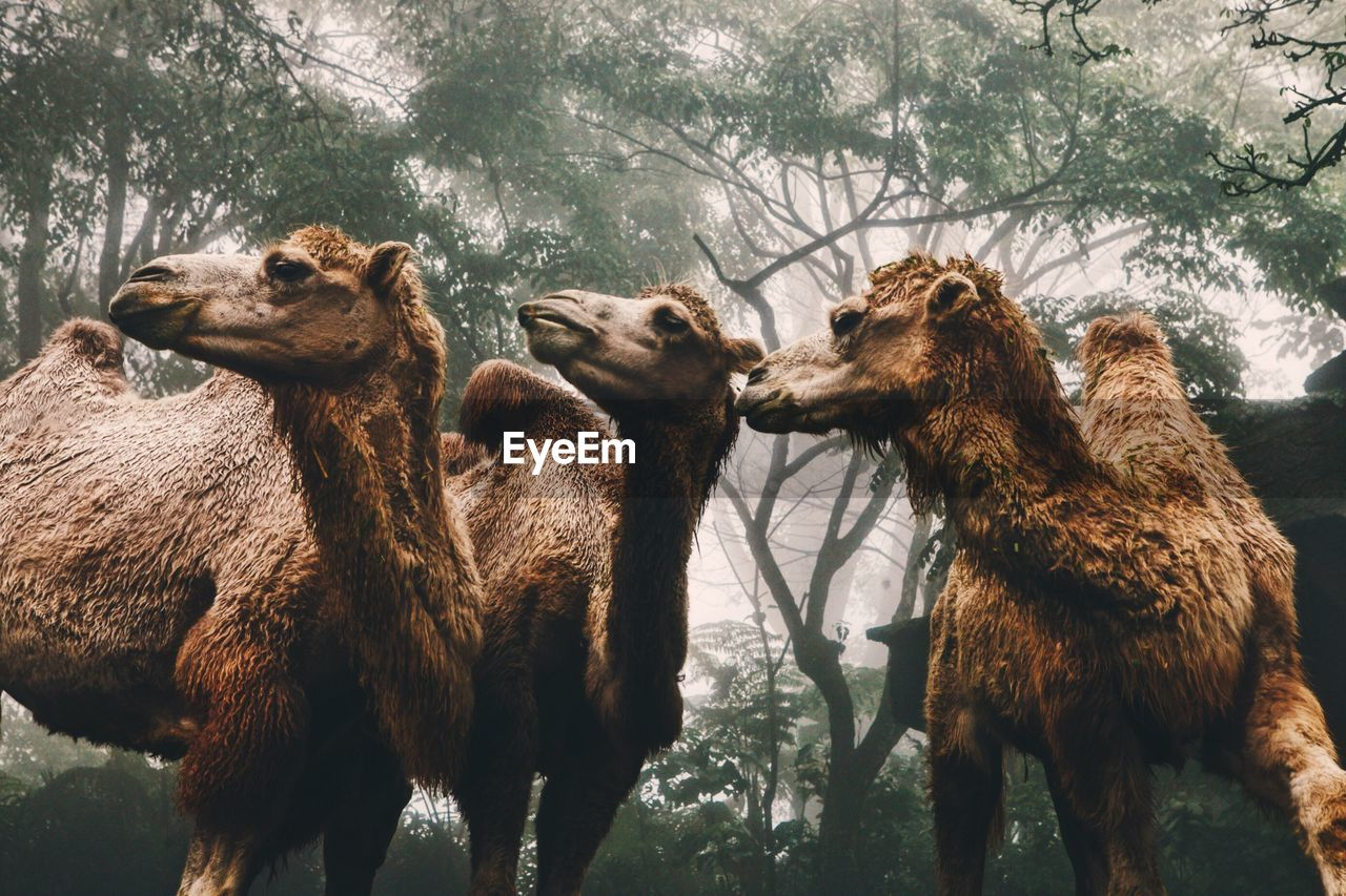 Low Angle View Of Camels Against Trees In Forest