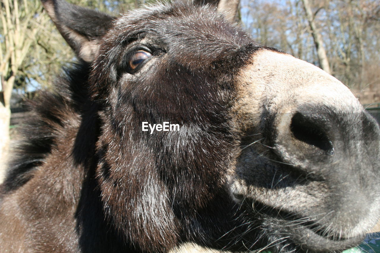 Close-up of donkey at field