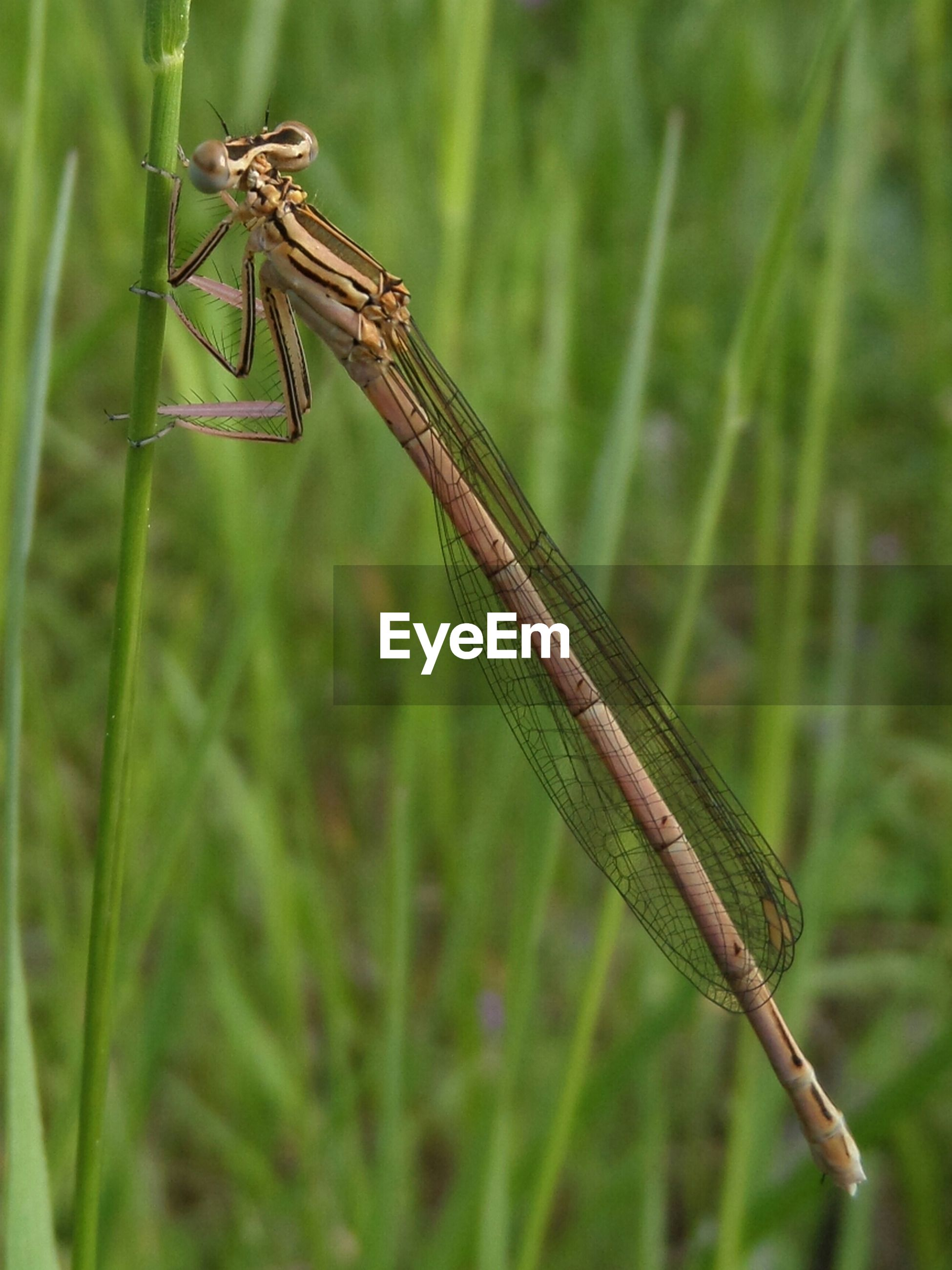 animals in the wild, animal themes, one animal, insect, wildlife, focus on foreground, dragonfly, close-up, animal wing, plant, nature, day, full length, outdoors, green color, beauty in nature, zoology, selective focus, no people, two animals
