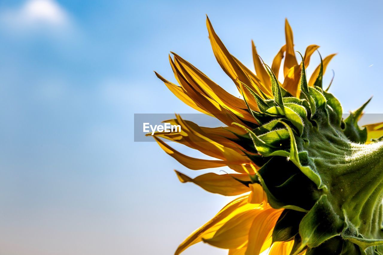 sky, flower, plant, freshness, beauty in nature, growth, flowering plant, yellow, close-up, nature, vulnerability, fragility, petal, flower head, no people, low angle view, day, inflorescence, green color, sepal