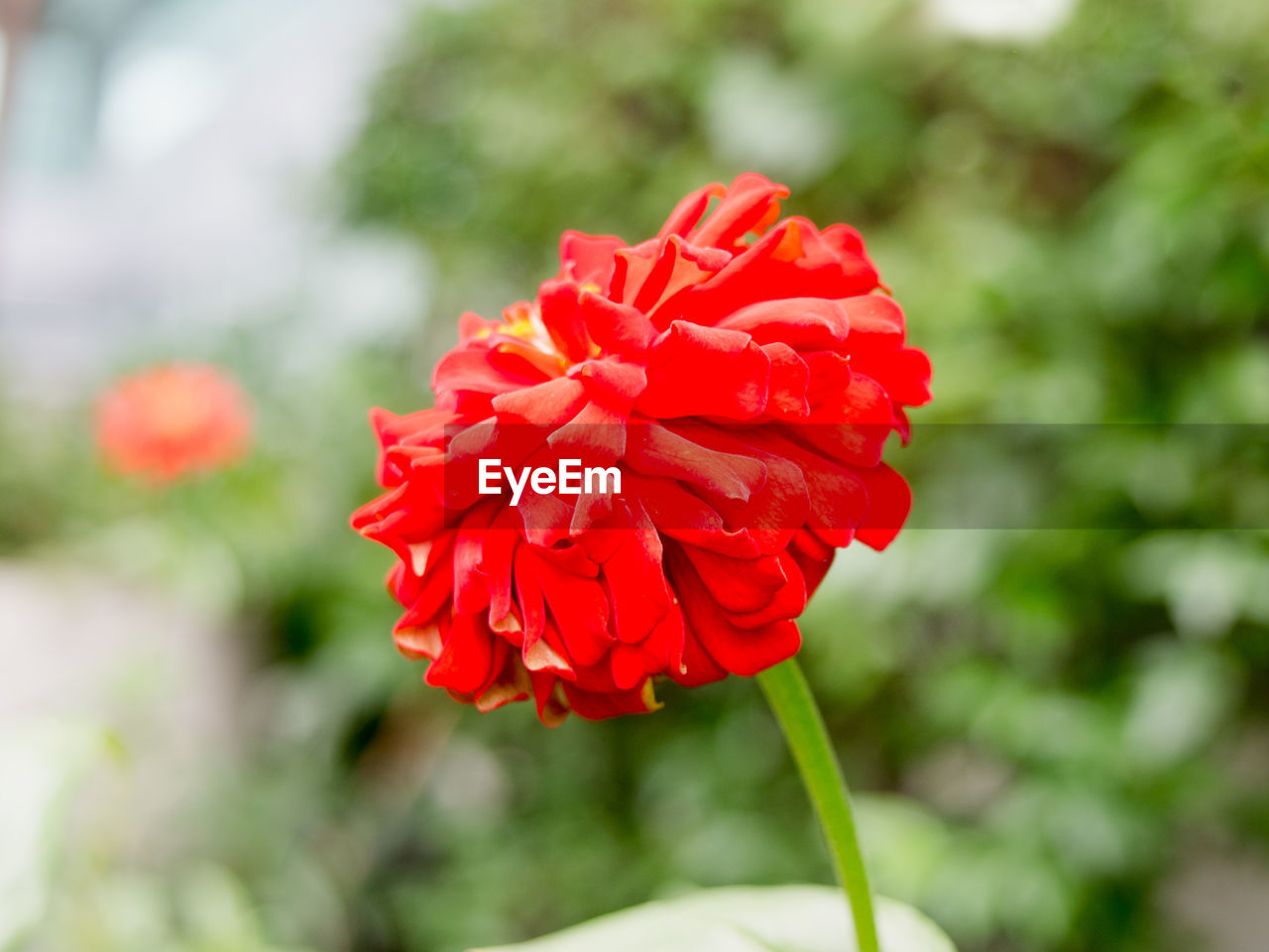 flower, petal, nature, beauty in nature, fragility, red, growth, freshness, flower head, blooming, focus on foreground, no people, day, outdoors, plant, close-up, zinnia