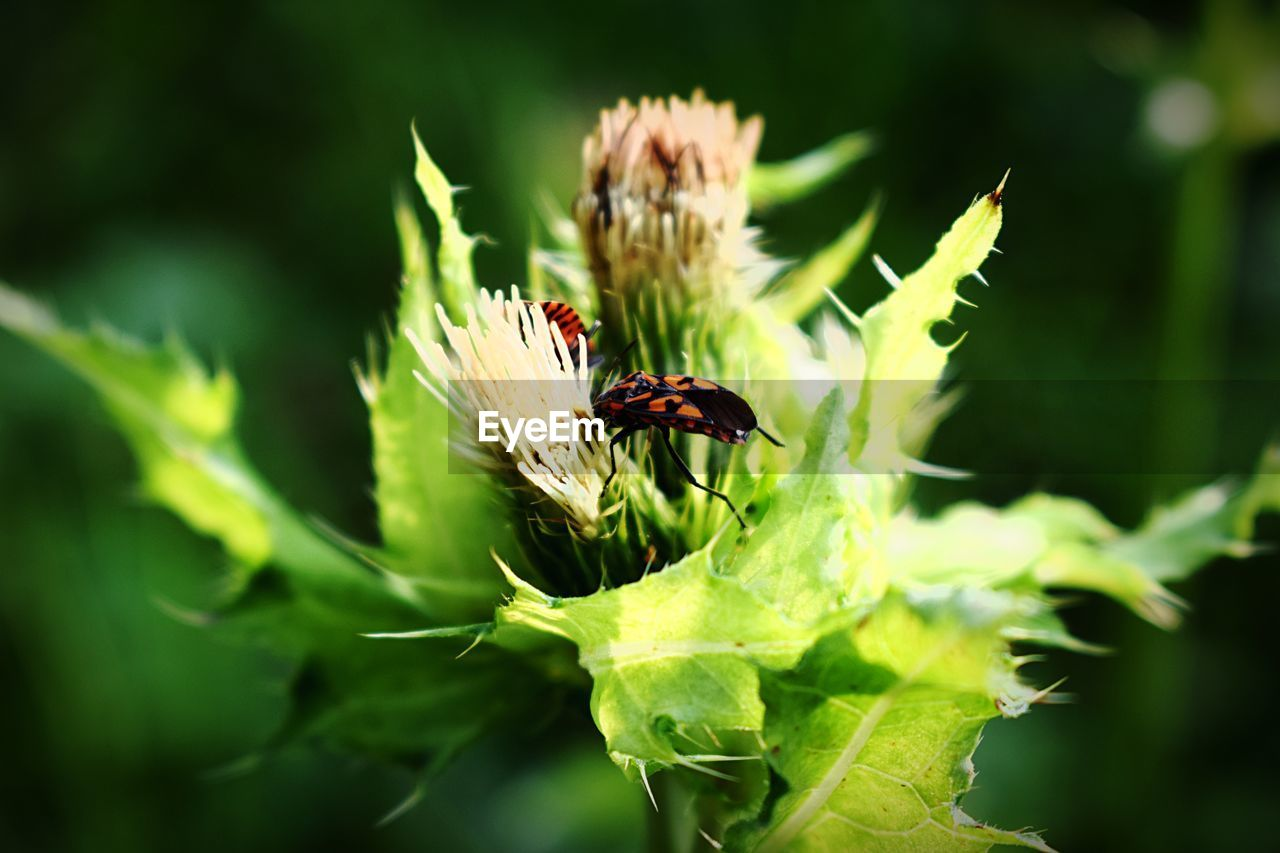 insect, invertebrate, animal themes, animals in the wild, animal, animal wildlife, one animal, plant, flower, close-up, flowering plant, growth, beauty in nature, green color, selective focus, vulnerability, day, fragility, no people, plant part, flower head, outdoors, animal wing, pollination