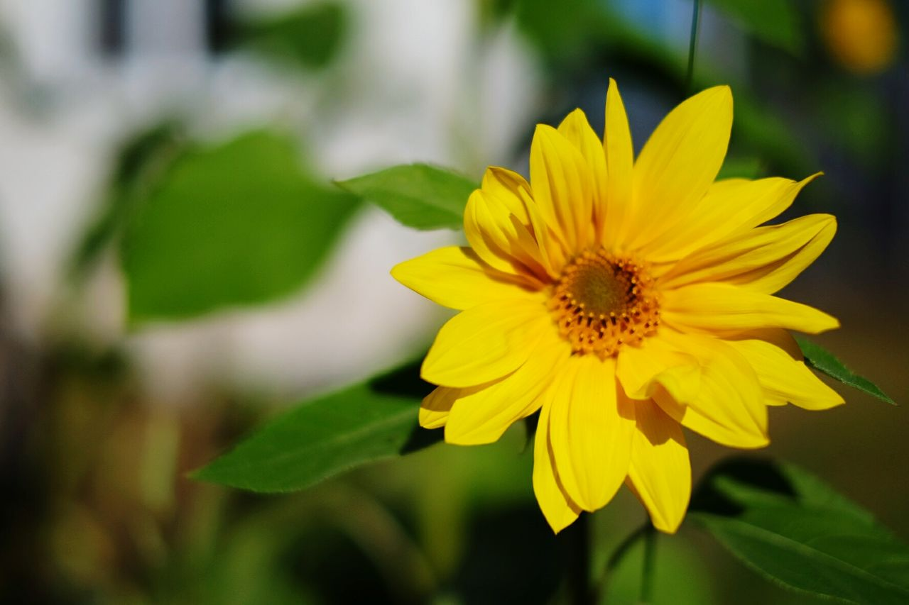 flowering plant, yellow, flower, petal, fragility, freshness, flower head, vulnerability, plant, inflorescence, beauty in nature, growth, close-up, focus on foreground, nature, pollen, day, no people, plant part, outdoors, pollination, gazania