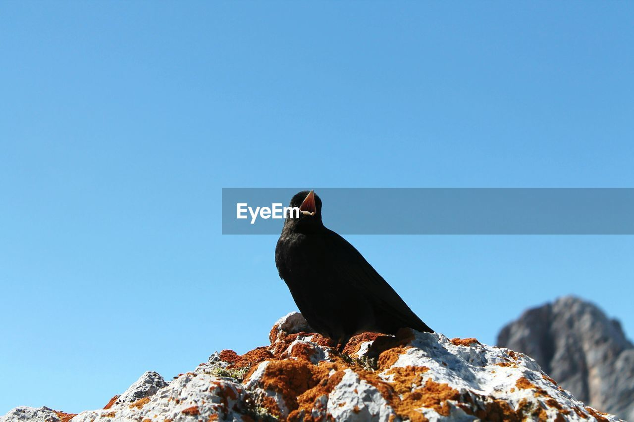 Low Angle View Of Blackbird Perching On Rock Against Clear Sky