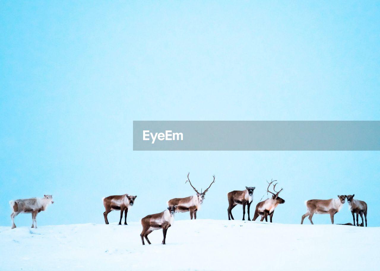 group of animals, mammal, animal themes, animal, sky, copy space, clear sky, medium group of animals, domestic animals, deer, no people, snow, animal wildlife, winter, nature, land, livestock, field, blue, herd, herbivorous