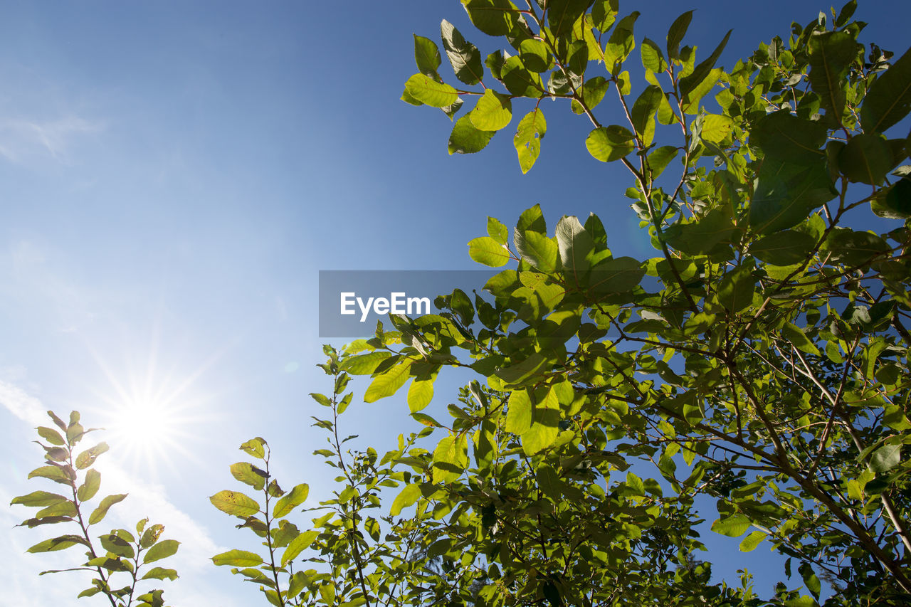 sky, plant, leaf, growth, plant part, sunlight, low angle view, tree, beauty in nature, green color, nature, day, no people, sunny, branch, sun, freshness, tranquility, outdoors, clear sky, bright, brightly lit, streaming