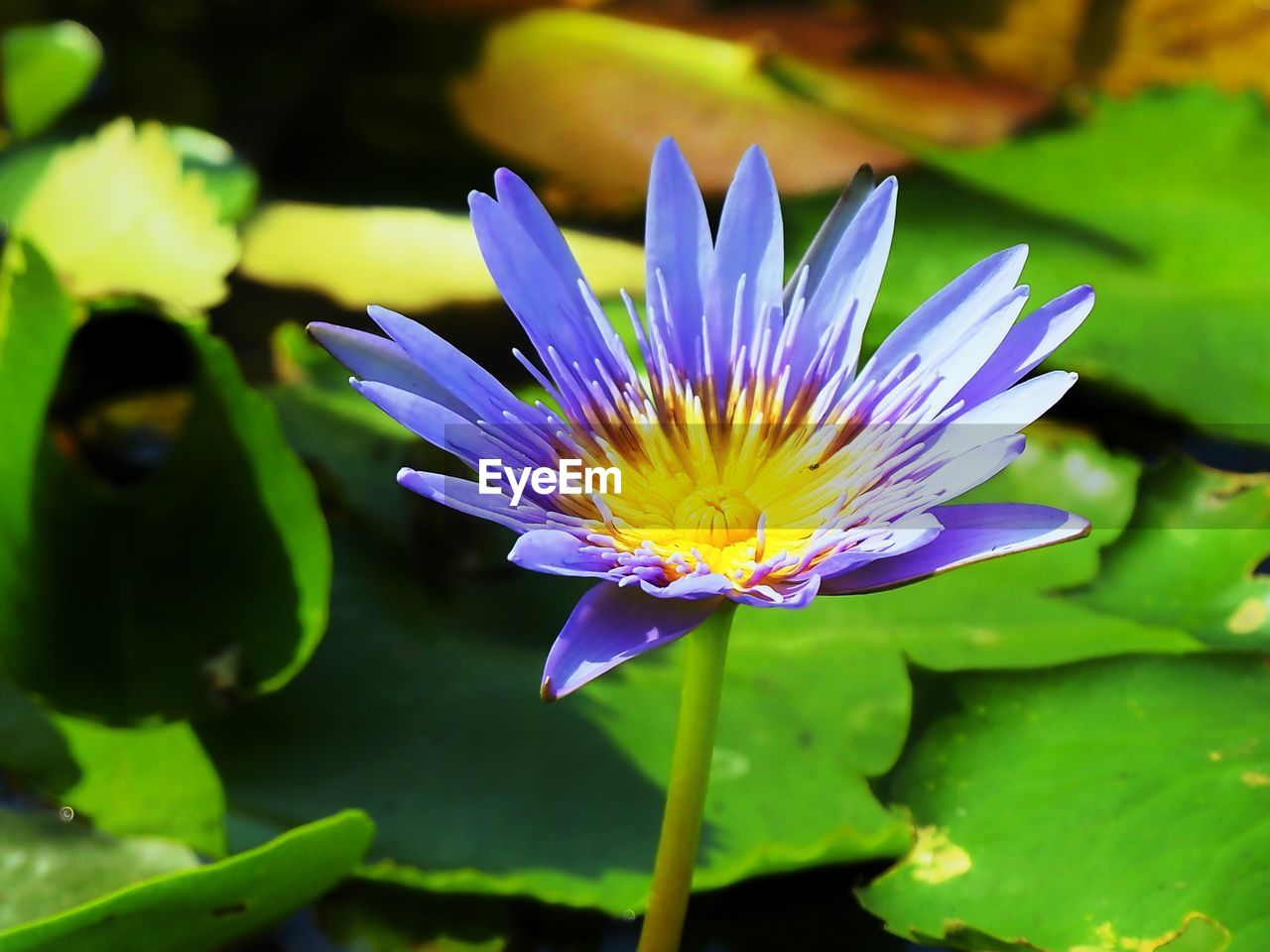 flowering plant, flower, plant, vulnerability, freshness, fragility, beauty in nature, petal, growth, purple, close-up, water lily, inflorescence, flower head, nature, leaf, plant part, water, pond, day, no people, pollen, lotus water lily