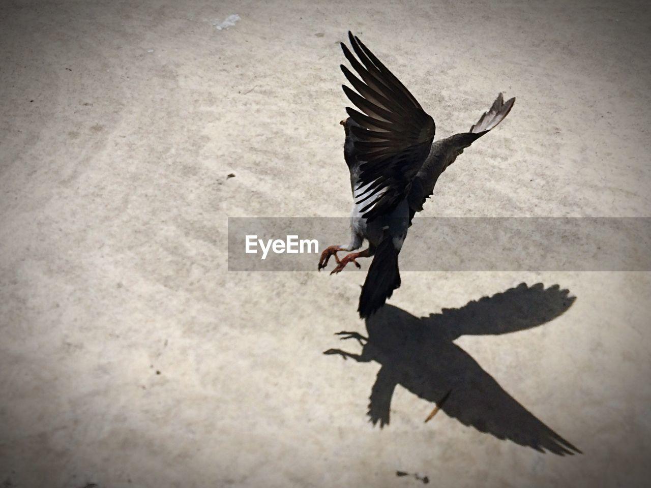 Pigeon landing on ground