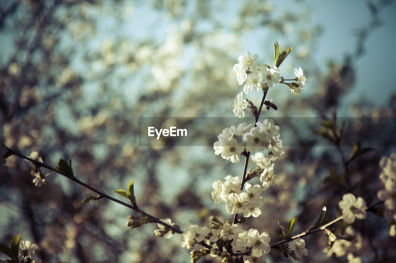 plant, flower, flowering plant, fragility, vulnerability, growth, freshness, beauty in nature, focus on foreground, nature, close-up, day, blossom, tree, white color, springtime, no people, selective focus, outdoors, branch, cherry blossom, flower head, cherry tree