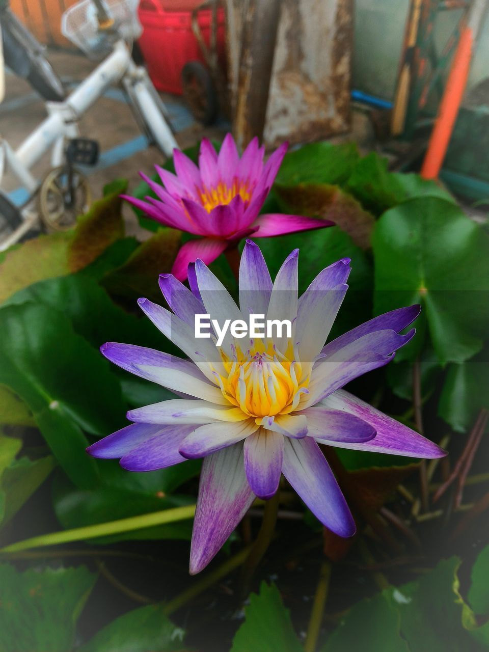 flower, petal, beauty in nature, nature, flower head, freshness, growth, fragility, close-up, no people, outdoors, day, lotus water lily, blooming