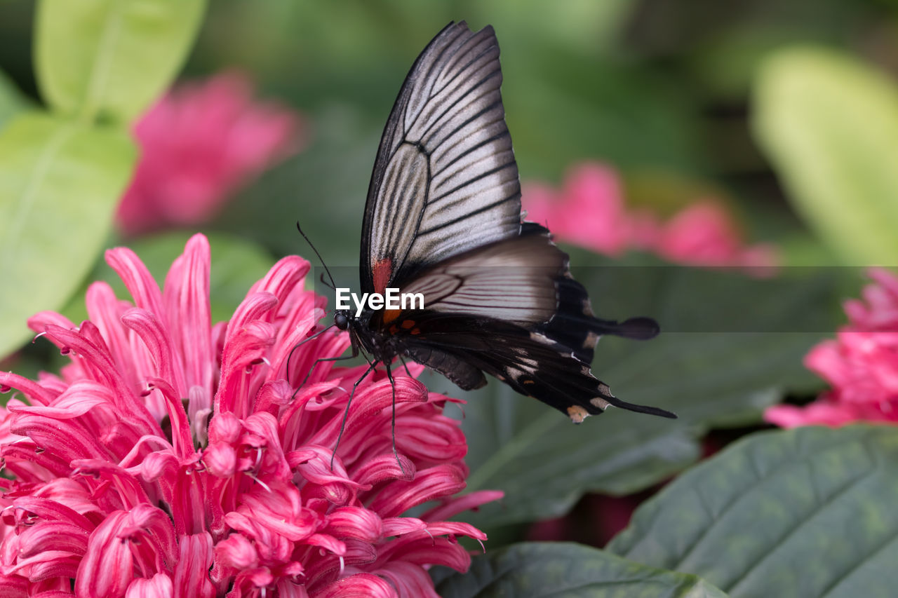 flower, flowering plant, invertebrate, insect, animals in the wild, animal themes, beauty in nature, animal wildlife, one animal, petal, fragility, vulnerability, animal, plant, flower head, pink color, animal wing, freshness, close-up, growth, pollination, butterfly - insect, no people
