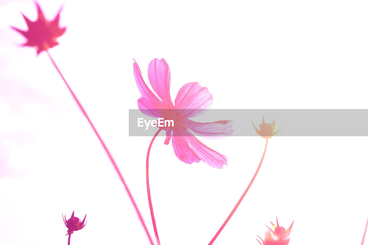 flowering plant, flower, plant, vulnerability, freshness, fragility, close-up, beauty in nature, studio shot, white background, petal, pink color, no people, growth, nature, inflorescence, copy space, flower head, outdoors, plant stem, purple, sepal