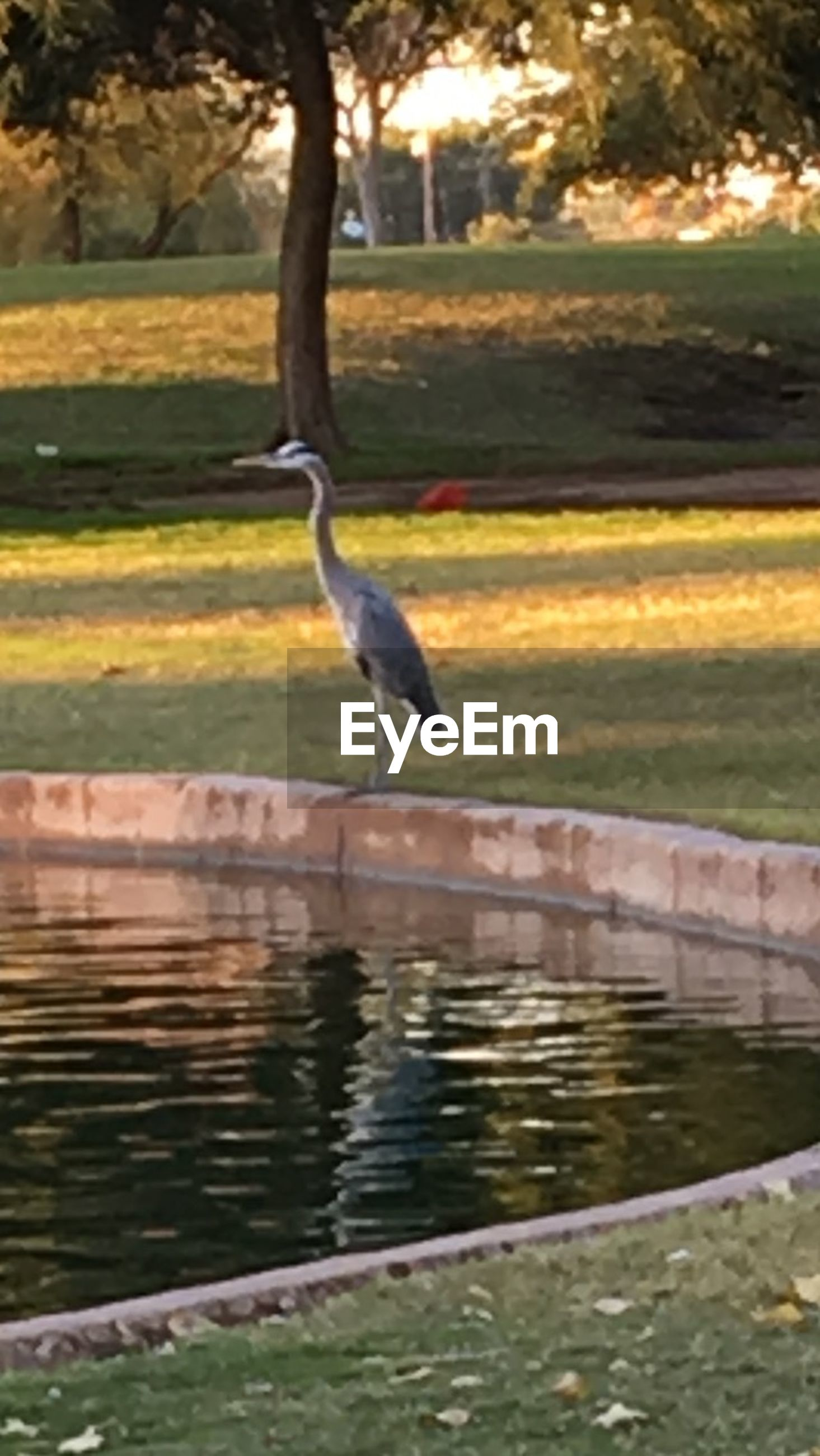 one animal, animal themes, animal, animals in the wild, vertebrate, animal wildlife, water, bird, lake, heron, no people, tree, nature, plant, beauty in nature, sunset, gray heron, day, reflection, outdoors