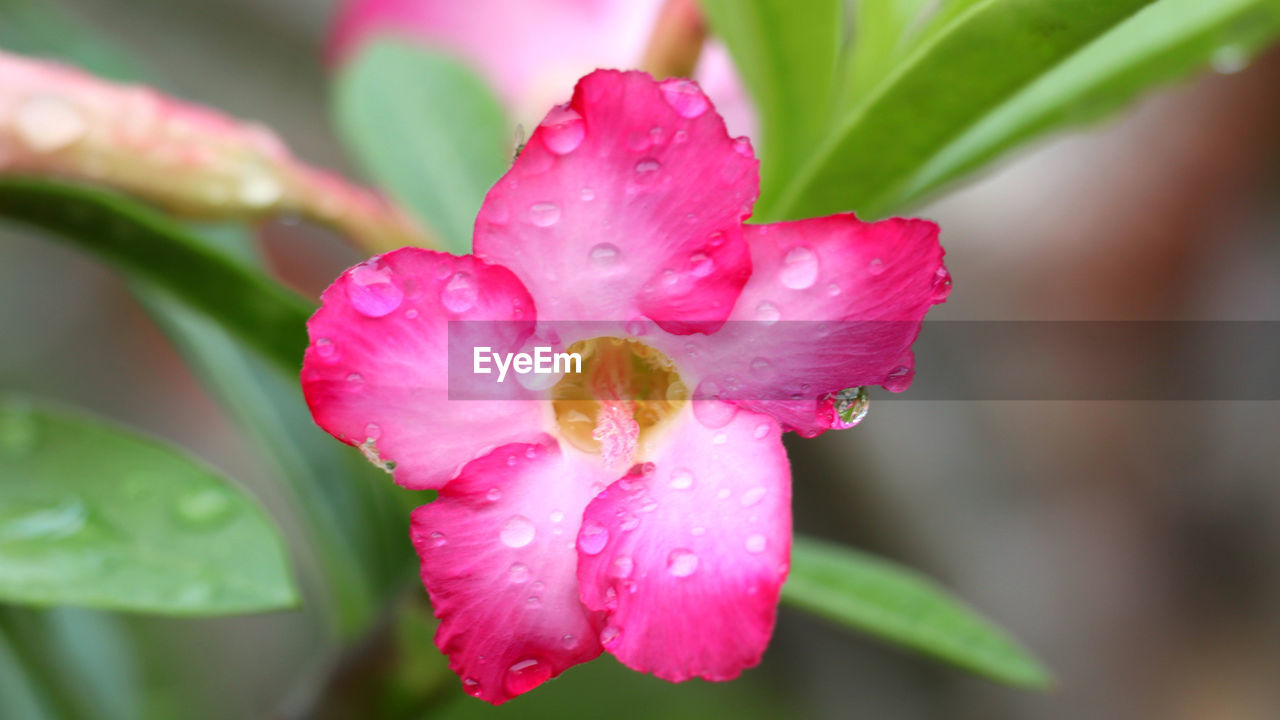 beauty in nature, fragility, plant, petal, vulnerability, drop, freshness, growth, close-up, pink color, wet, flowering plant, water, flower, inflorescence, flower head, nature, focus on foreground, no people, outdoors, pollen, dew, rain, purity, raindrop