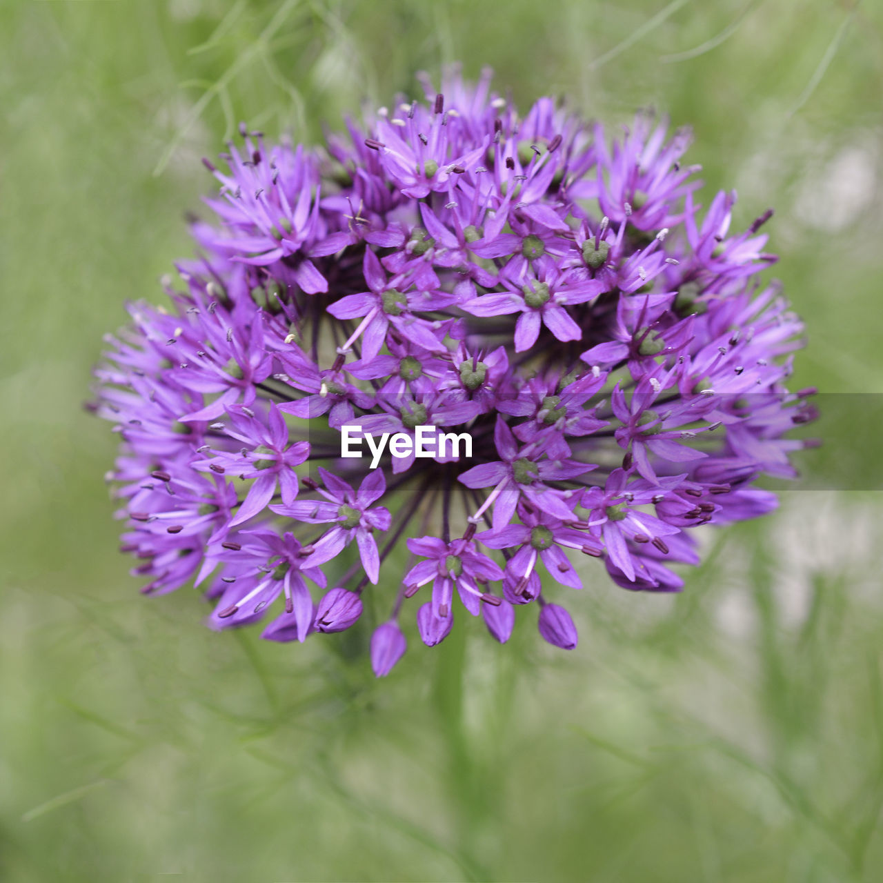 CLOSE-UP OF PURPLE FLOWERING PLANT GROWING OUTDOORS