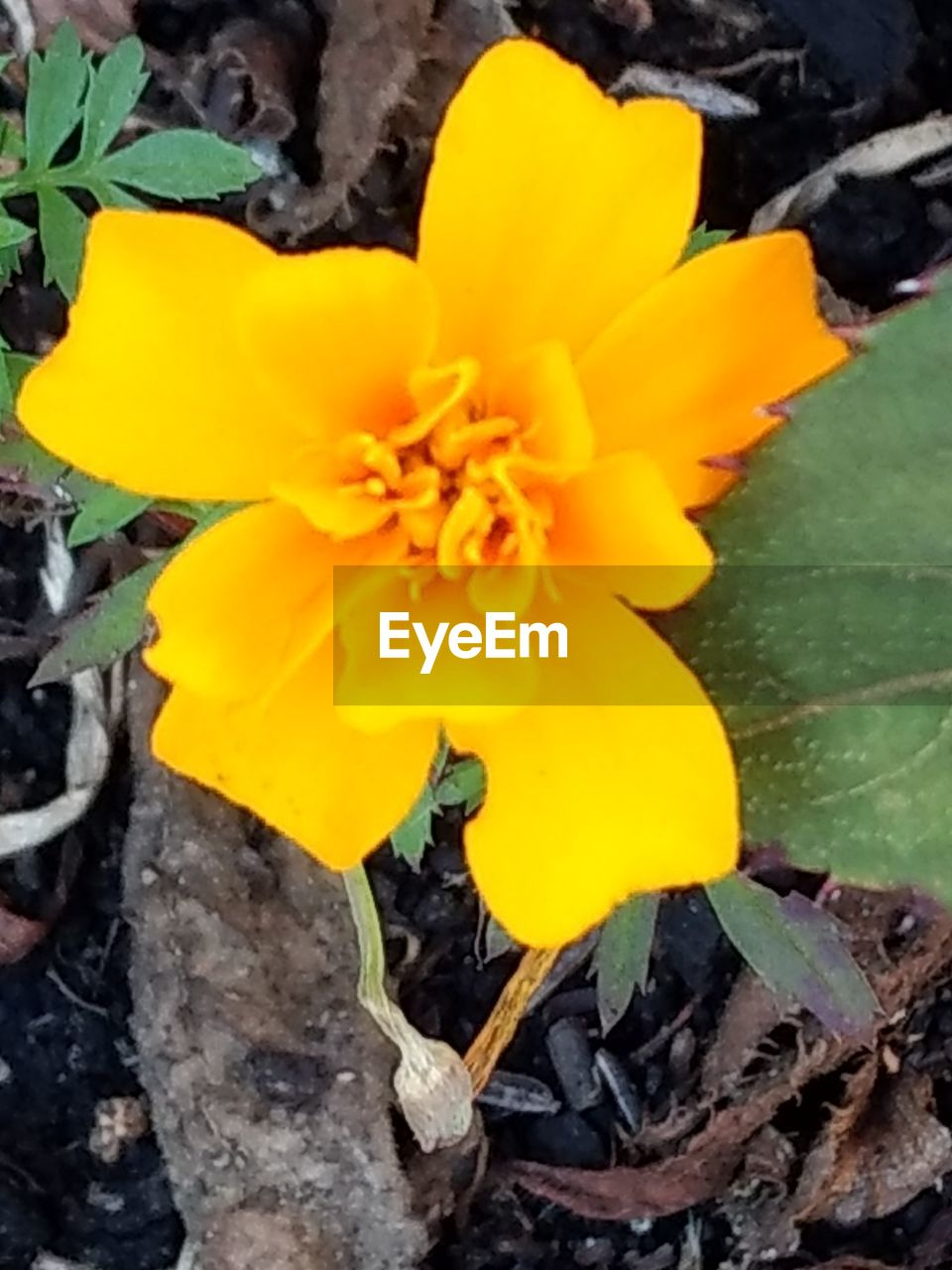 yellow, flower, flowering plant, vulnerability, fragility, beauty in nature, plant, petal, inflorescence, freshness, growth, close-up, flower head, nature, no people, day, high angle view, outdoors, botany, springtime