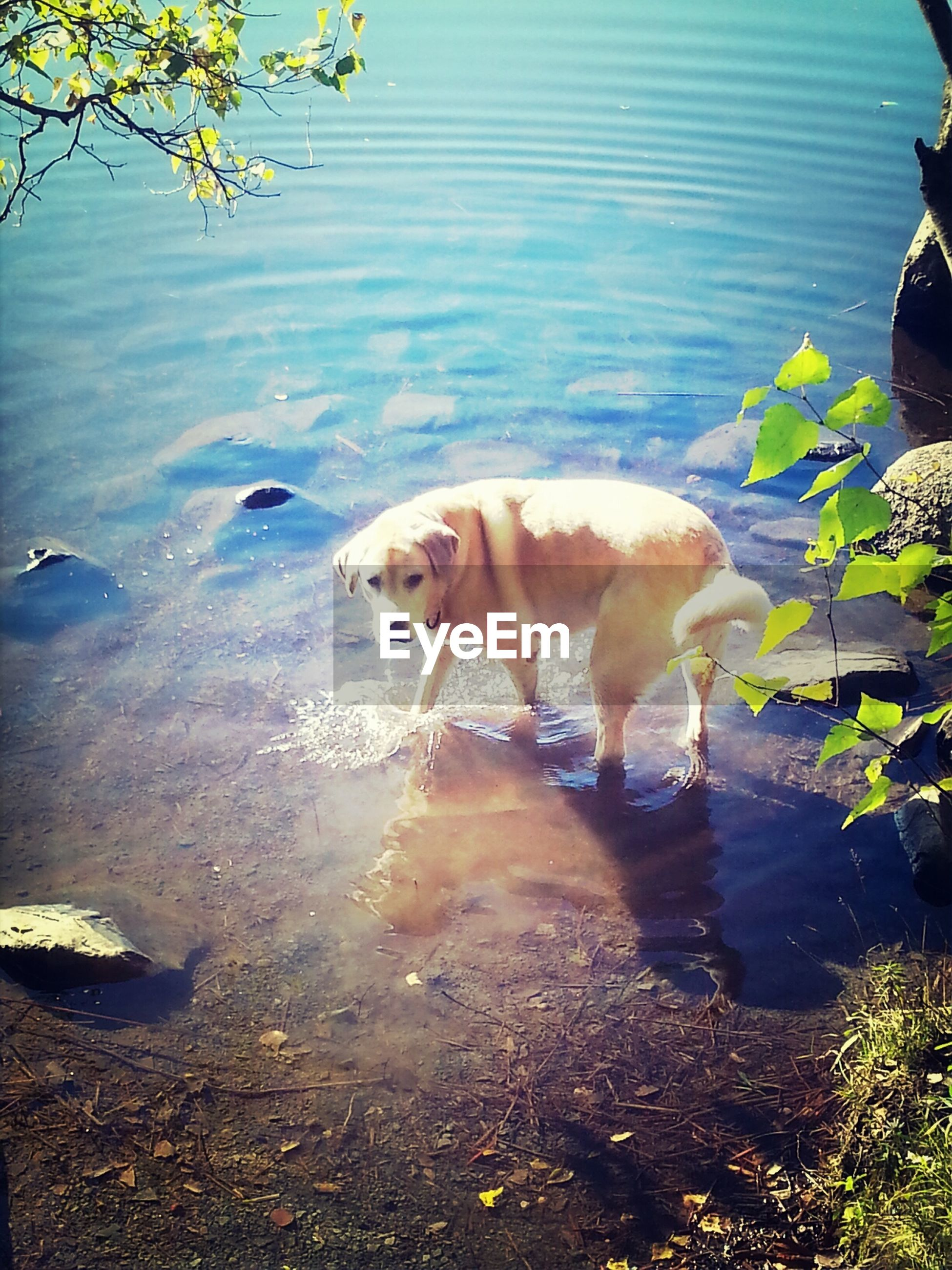 animal themes, pets, mammal, water, one animal, domestic animals, dog, nature, full length, lake, high angle view, standing, outdoors, day, sunlight, no people, plant, walking, two animals, animal