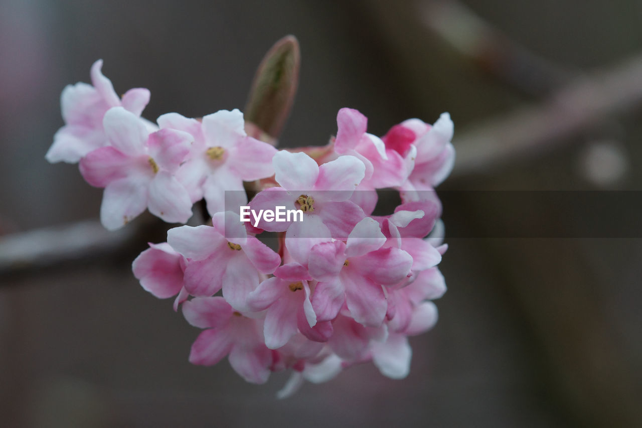 flower, fragility, beauty in nature, nature, growth, petal, pink color, freshness, close-up, focus on foreground, plant, springtime, day, no people, flower head, outdoors, blooming, branch, tree
