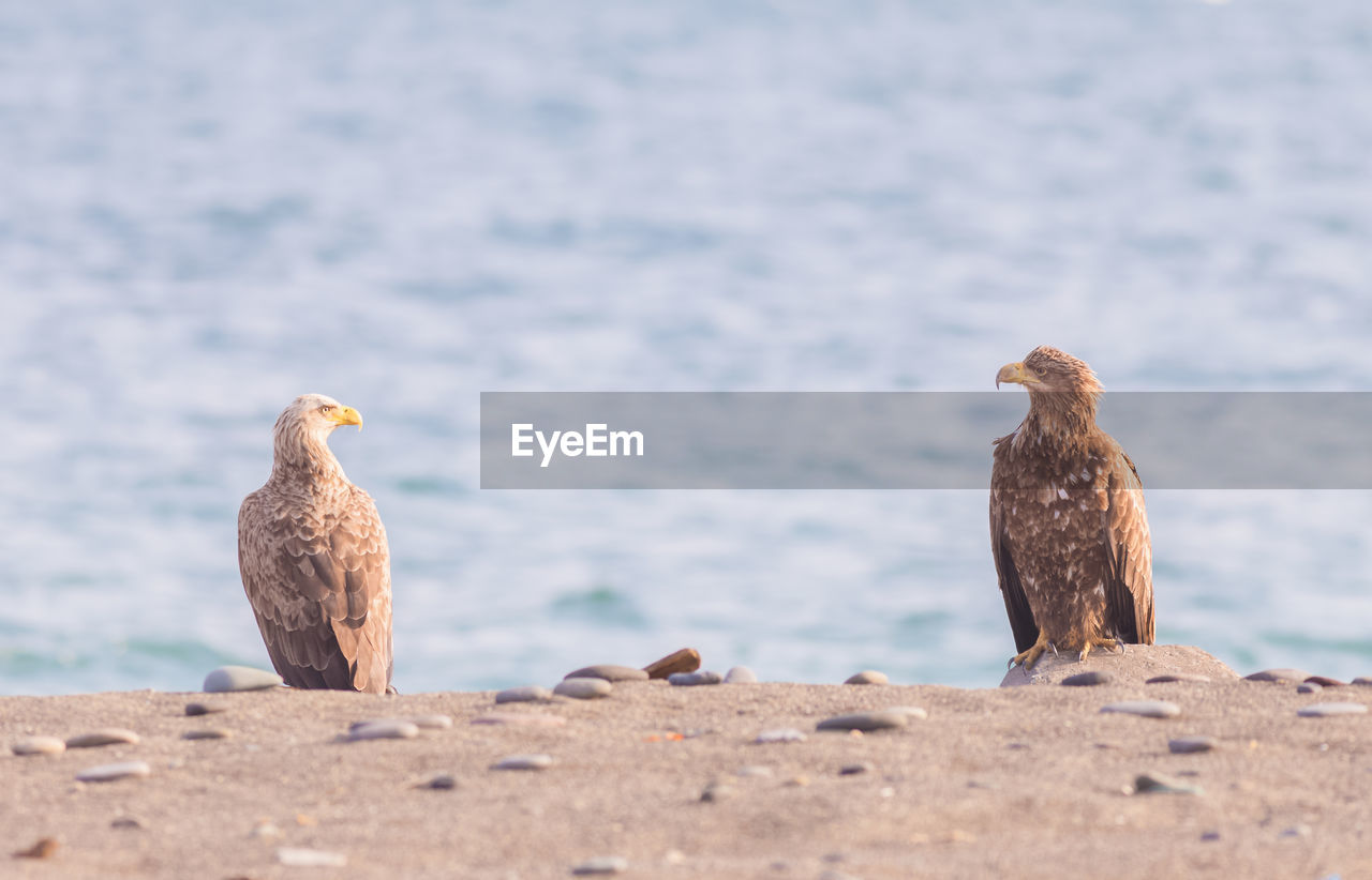 bird, animal themes, vertebrate, animal, animals in the wild, animal wildlife, group of animals, perching, nature, day, selective focus, focus on foreground, no people, two animals, outdoors, water, brown, sea, bird of prey