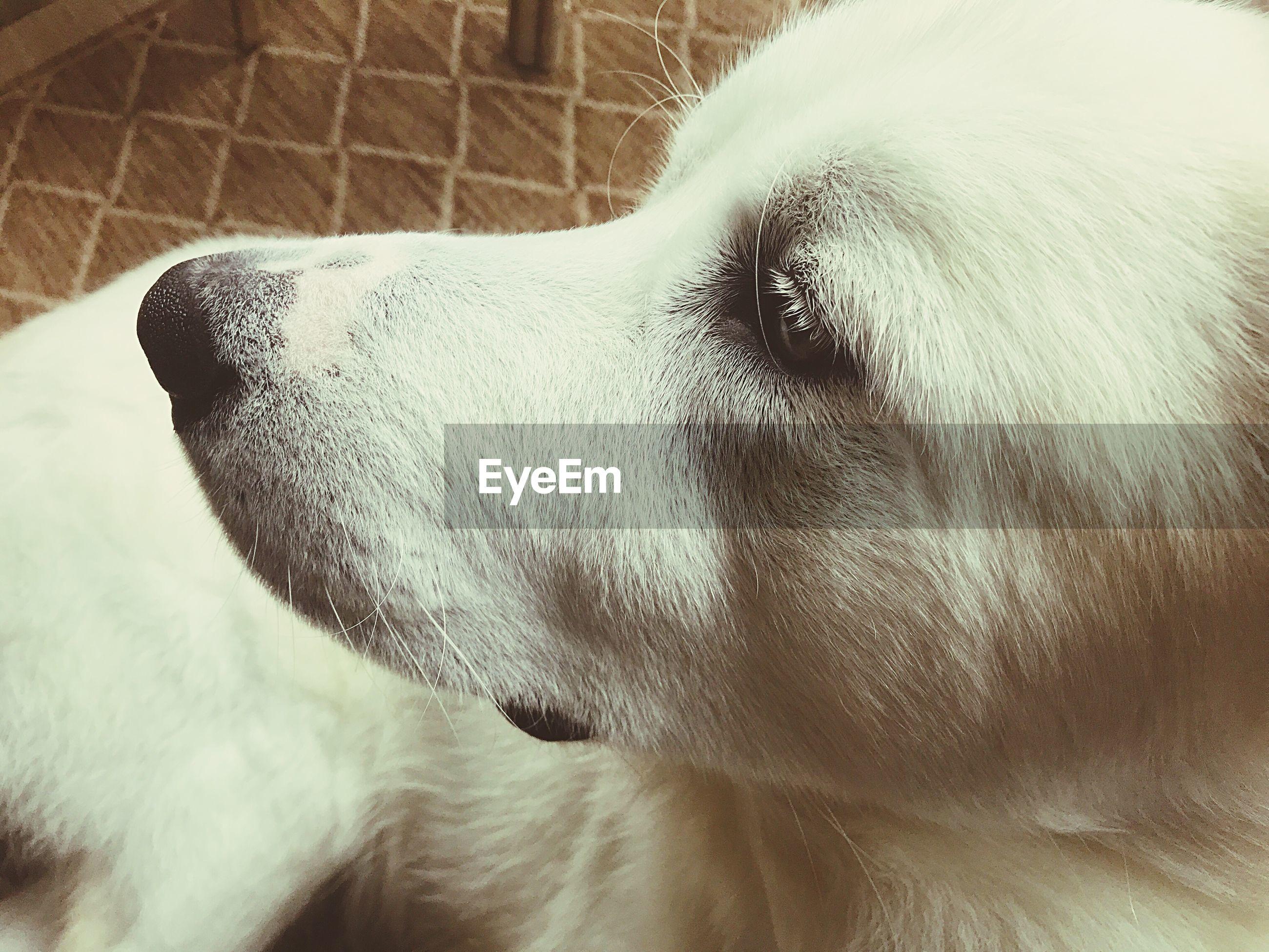 EyeEm Selects Pets Dog Animal Themes Close-up Animal Head  Day No People Zeke