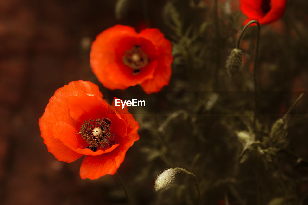 flower, freshness, flowering plant, plant, petal, poppy, beauty in nature, fragility, flower head, vulnerability, close-up, growth, inflorescence, focus on foreground, orange color, red, no people, nature, pollen, selective focus